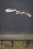 Barn owl hunting early morning  (Tyto alba) Stock Photo