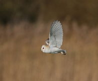 Barn Owl. Hunting at Holkham Marsh,Norfolk royalty free stock image
