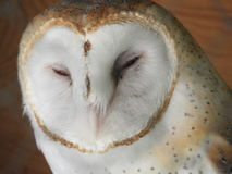 Barn Owl. I can hardly hold my eyes open Stock Photos