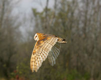 Barn Owl In Flight Stock Photo