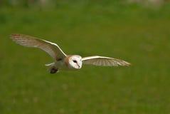 Free Barn Owl In Flight Stock Photography - 8141062