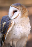 Barn Owl - Inquisitive royalty free stock image
