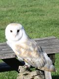 Barn owl with inquisitive gase, perched stock photos