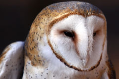 Barn Owl - intense gaze Stock Image