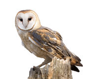 Barn Owl. A barn owl isolated on a white background and perched on a dead tree stump. Barn Owls are silent predators of the night world. Lanky, with a whitish