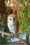 Barn owl from Japan Owl Cafe royalty free stock images
