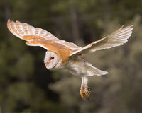 Barn Owl Juvenile Stock Photo
