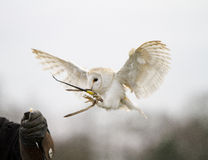 Barn Owl Landing Royalty Free Stock Photo