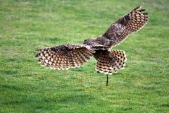 Barn owl landing. Beautiful Barn owl landing on the grass Royalty Free Stock Photography
