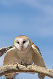 Barn Owl Landing on Branch Stock Photo