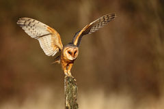 Barn owl landing with spread wings on tree stump at the evening. United Kingdom Stock Images