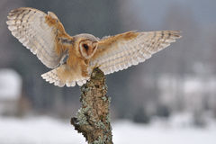 Barn owl landing to spike. In winter time and village on background Stock Photo
