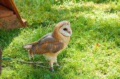 Barn Owl - in Latin Tyto Alba - in captivity. Stock Image