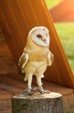 Barn Owl - in Latin Tyto Alba -sitting on a tree stump. Barn owl portrait. Royalty Free Stock Image