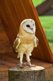 Barn Owl - in Latin Tyto Alba -sitting on a tree stump. Barn owl portrait. Royalty Free Stock Photo