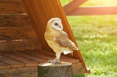 Barn Owl - in Latin Tyto Alba -sitting on a tree stump. Royalty Free Stock Photo