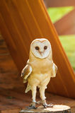 Barn Owl - in Latin Tyto Alba -sitting on a tree stump. Royalty Free Stock Images