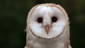Barn Owl. Looking around in a close up shot stock video footage