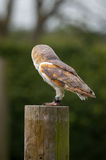 Barn Owl looking away Stock Images