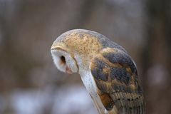 Free Barn Owl Looking Down Royalty Free Stock Photo - 91126965