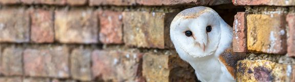 Barn Owl Looking Out of a Hole in a Wall Panorama royalty free stock images