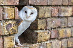 Barn Owl Looking Out of a Hole in a Wall Stock Photo