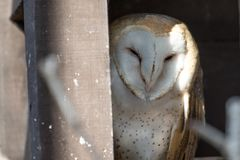 Barn owl looking out of a nesting box Stock Photo