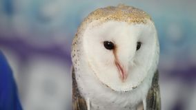 Barn owl making sounds. Barn owl making loud sounds and staring stock footage