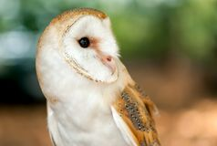 Barn Owl is the most widely species of owl. Royalty Free Stock Photography
