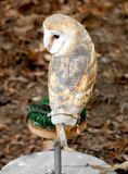 Barn Owl is the most widely species of owl. Royalty Free Stock Image