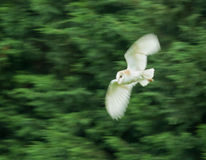 Barn Owl with motion blur Stock Photo