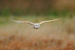 Barn Owl, nice bird in flight, in the grass Stock Image