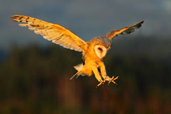 Barn Owl, nice light bird in flight, in the grass, outstretched wins, action wildlife scene from nature, United Kingdom. Europe Royalty Free Stock Photo