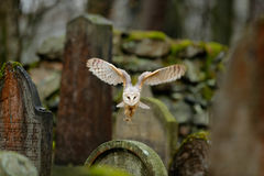 Barn owl with nice wings landing on headstone. Owl in the habitat. Action wildlife scene from Europe. Flying bird in the forest. O Royalty Free Stock Photos