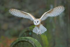 Barn owl with nice wings landing on headstone. Owl in the habitat. Action wildlife scene from Europe. Flying bird in the forest. O Royalty Free Stock Photo