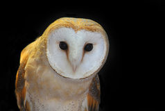 Barn owl in the night. Front view of a barn owl Royalty Free Stock Photo