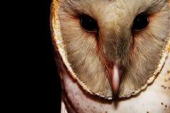 Barn Owl 4 Royalty Free Stock Photo