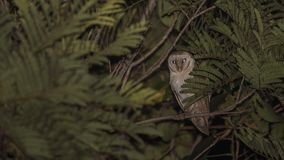 Barn Owl At Night Among Tree Branches. Barn owl, Tyto alba, is trying to hide among tree leaves at night looking at the camera in Thananphon Village, Thailand Stock Photo