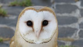 The barn owl: nocturnal animal. And predator stock images