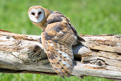 Barn Owl on Old Fallen Tree royalty free stock photography
