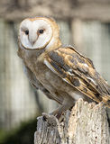 Barn Owl stock image