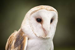 Barn Owl. A Barn Owl  Barn Owls are silent predators of the night world. Lanky, with a whitish face, chest, and belly, and buffy upperparts, this owl roosts in Stock Photos