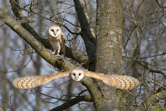 Barn Owl Pair Stock Photos
