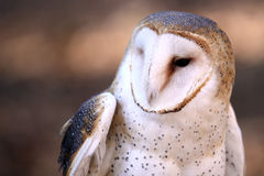 Barn Owl - Peek a Boo Stock Photography
