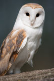 Barn Owl on perch Royalty Free Stock Images