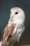 Barn Owl on perch Royalty Free Stock Image