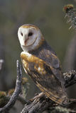 Barn Owl perched. Barn Owl  (Tyto alba) perched on a cactus in Arizona's Sonoran Desert Royalty Free Stock Photos