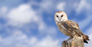 Barn Owl. A barn owl perched on a dead tree stump with a beautiful cloudy blue sky background Stock Photo
