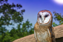 Barn Owl Stock Photos