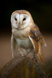 Barn Owl perched on a gravestone Stock Photos